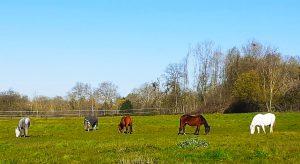 Pâtures, prés hivers, pension chevaux, chevaux